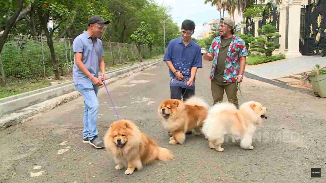anjing chow chow trans tv